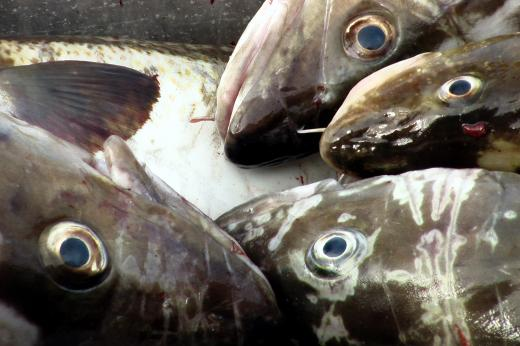 fish in a fishing boat in Alesund, Norway